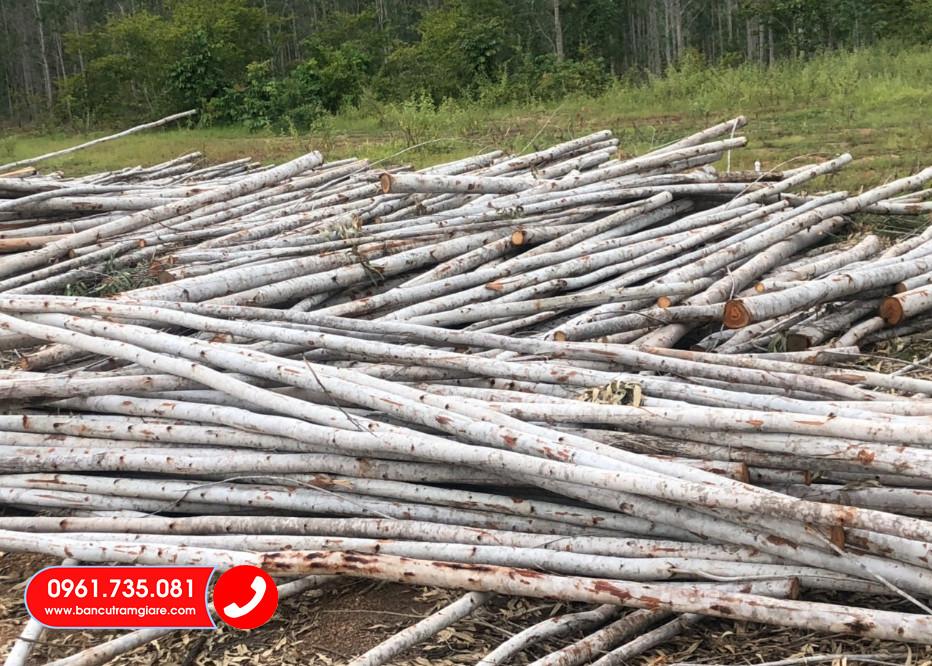 Hưng Thịnh địa chỉ mua bán cây chống gỗ bạch đàn, cừ bạch đàn tại TPHCM, đơn giá cây bạch đàn